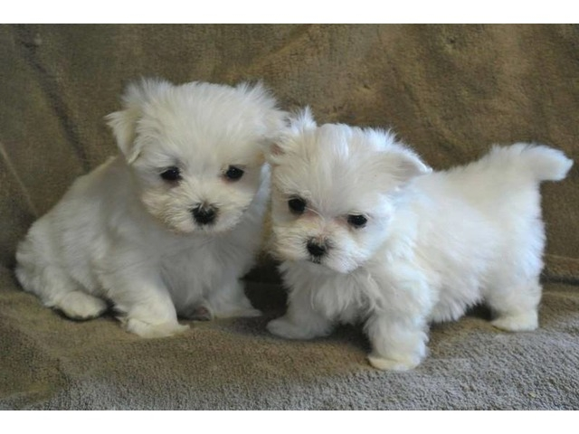 Michigan Kc Registered Maltese Puppies For Sale Pets And